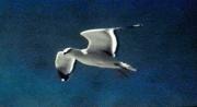 David Gray Gulls Jpeg